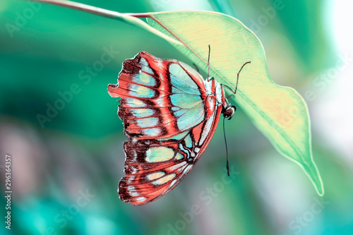 Photo sur Aluminium Papillon Closeup Malachite (siproeta stelenes) beautiful butterfly in a summer garden