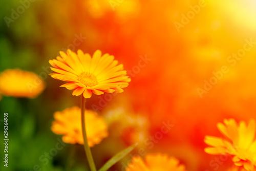Fotografía  Calendula officinalis, the pot marigold, ruddles, common marigold or Scotch marigold