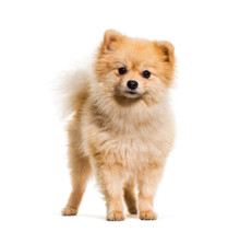 Pomeranian Dog Standing Agains...