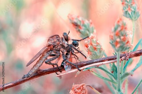 Deurstickers Vlinder Macro shot of a robber fly
