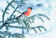 Bright Bullfinch Bird Sits On A Spruce Branch Covered With Snow In A Festive New Year's Winter Park