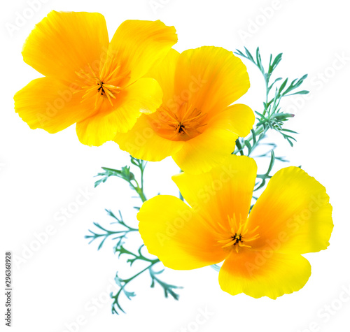 Fototapeta  flower Eschscholzia californica (California poppy, golden poppy, California sunl