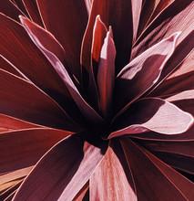 Close Up Of Purple Yucca Palm
