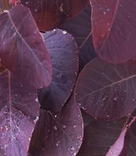 Water Drops On Purple Leaves