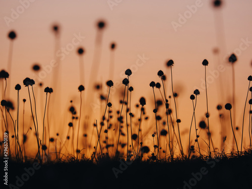 Plants silhouetted at sunset - 296370139