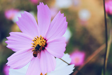 Bee In The Center Of A Purple Cosmos Flower