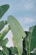 Low Angle View Of  Banana Palm...