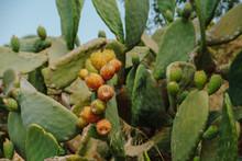 Close Up Of Cactus Fruit
