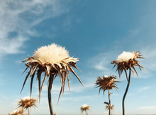 Close Up Of White Thistle Flowers
