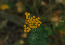 Tiny Yellow Flower Buds Bloomi...