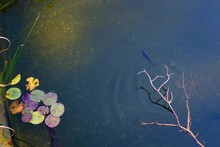 River With Water Lilies And Fish. River Top View. Water Surface And Clear Emerald Water.