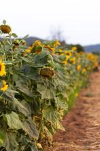 Pile Of Sunflowers