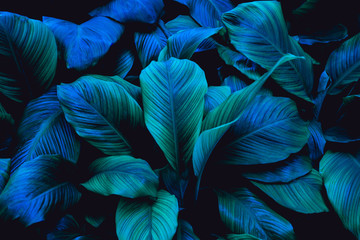 leaves of Spathiphyllum cannifolium, abstract green texture, nature backgroun...