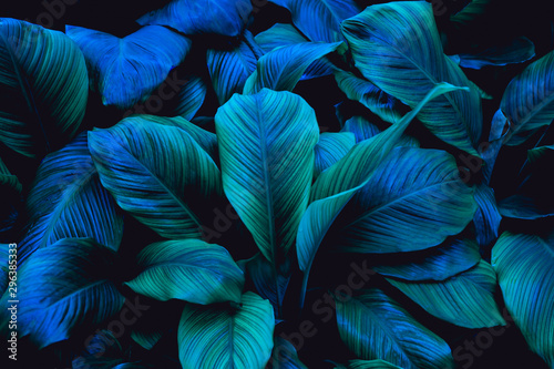 Spoed Fotobehang Bloemenwinkel leaves of Spathiphyllum cannifolium, abstract green texture, nature background, tropical leaf