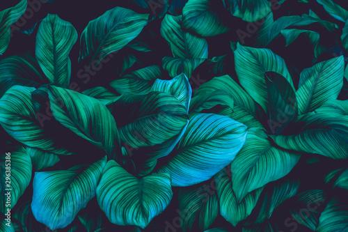 Keuken foto achterwand Bloemen leaves of Spathiphyllum cannifolium, abstract green texture, nature background, tropical leaf