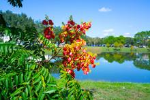 Koelreuteria Paniculata Tree A...