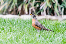 American Robin Inspecting The Green Grass For A Snack.