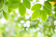 Leinwandbild Motiv Close up of nature view green leaf on blurred greenery background under sunlight with bokeh and copy space using as background natural plants landscape, ecology wallpaper concept.