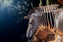 A Zebra Grazing In A Green Mea...