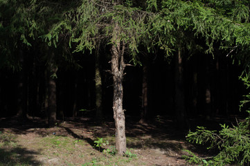 dark forest with tree trunks casting shadows on the ground. summer green foliage