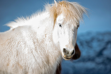 The Icelandic horse is a breed of horse developed in Iceland.