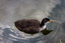 Young Coot Seen In Profile