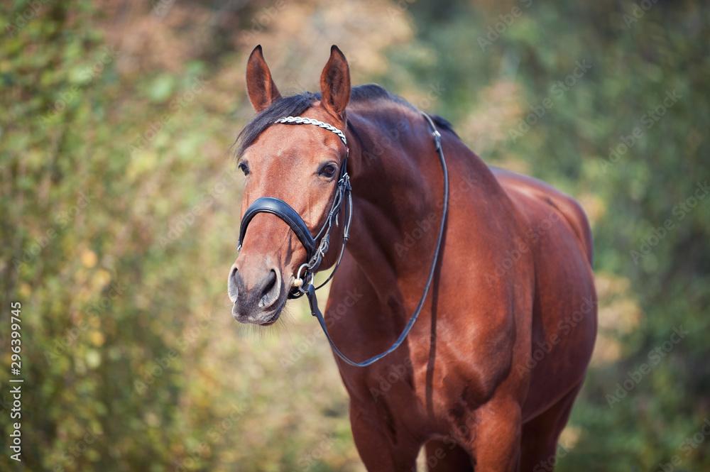 Fototapeta Portrait of graceful chestnut horse reaching neck
