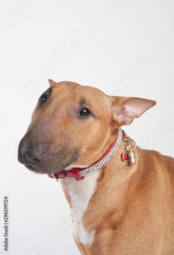 Fotografiet Young red-haired bull terrier isolated on white
