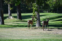 Golf Course Deer