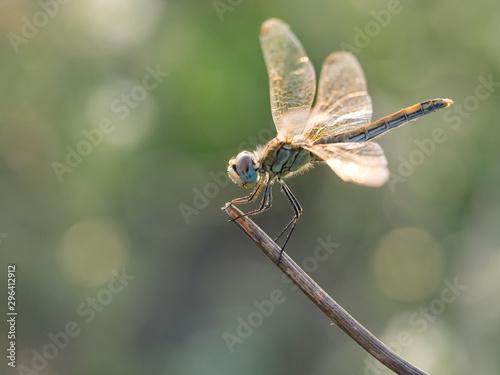Photo Anisoptera, libélula descansando en una rama