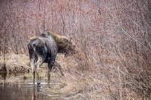 Canadian Female Moose In Wetlands