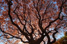 Oak Spread Its Twisting Branch...