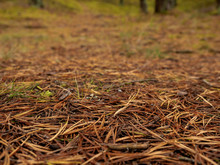 Pine Needles On The Ground, Abstract Nature Background, Selective Focus.
