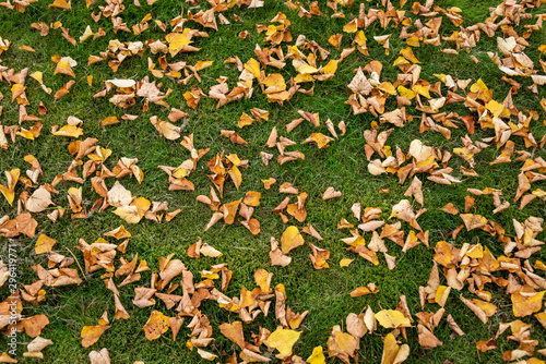 Fall color with many yellow birch leaves on a carpet of green moss and grass, nature background