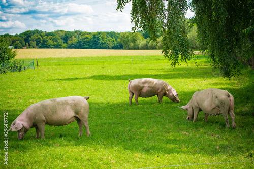 Obraz na płótnie pigs in field. Healthy pig on meadow
