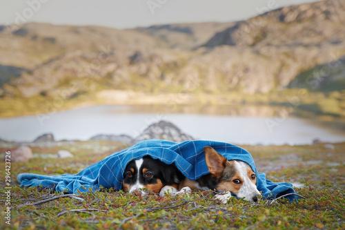 Photo Aussie and border collie