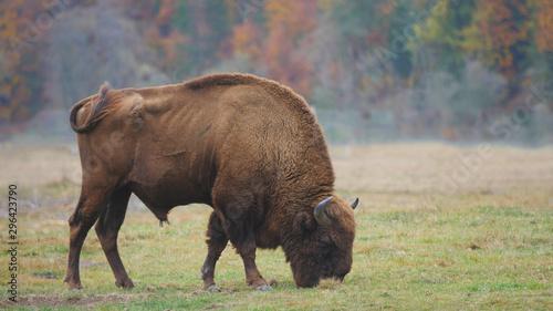Wisent (Bison) feeding with fresh grass in autumn forest, free wild animal Tapéta, Fotótapéta