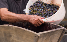 Grinding Grapes In A Special Juicer. Harvest Home. Technology Of Wine Production. The Folk Tradition Of Making Wine. Winemaker's Hand At The Time Of Pouring Wine Material For Grinding.
