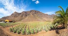Farm Plantation Of Medicinal Aloe Vera Plant With Mountain Background