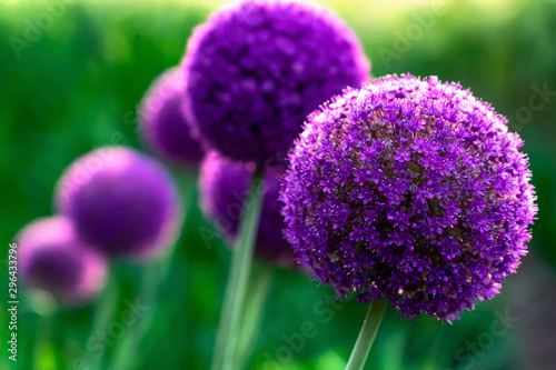Giant violet ion (Allium Giganteum) flowers blooming Canvas Print