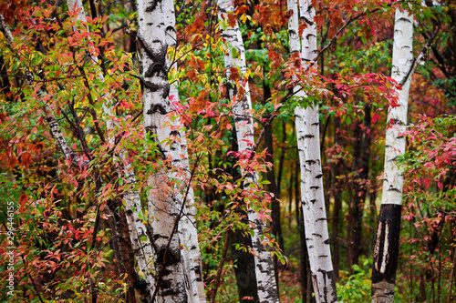 Obraz na plátně The silver birch trees and red leaves.