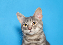 Close Up Portrait Of A Gray And White Tabby Kitten With Skeptical Expression Looking Slightly To Viewers Left. Blue Background