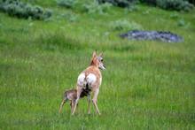 Newborn Pronghorn Antelope And...