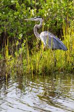 Great Blue Heron Hunting Prey In The Marsh At Merritt Island National Wildlife Refuge On The East Coast Of Florida.