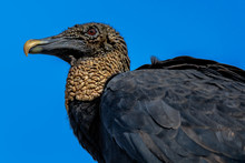 A Black Vulture Keeps Vigil Fo...
