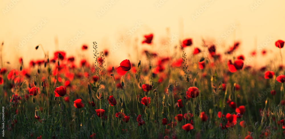 Fototapety, obrazy: Rural fields in summer, with beautiful blooming wild red poppy flowers