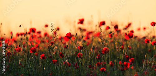 Rural fields in summer, with beautiful blooming wild red poppy flowers - 296454958