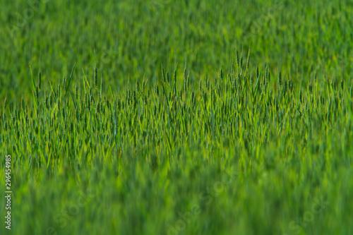 Foto op Plexiglas Groene Rural scenery with green fields of wheat and rice, in early summer