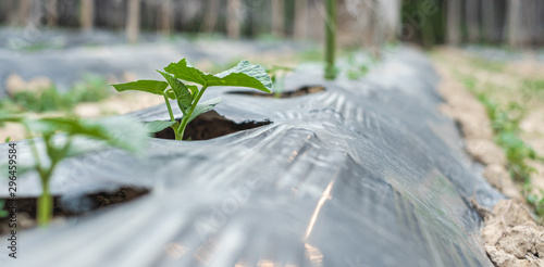 Fototapeta Row of baby tree on soil covered by plastic or mulching film in agriculture. obraz