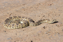 Rattle Snake In Waterton Canyon